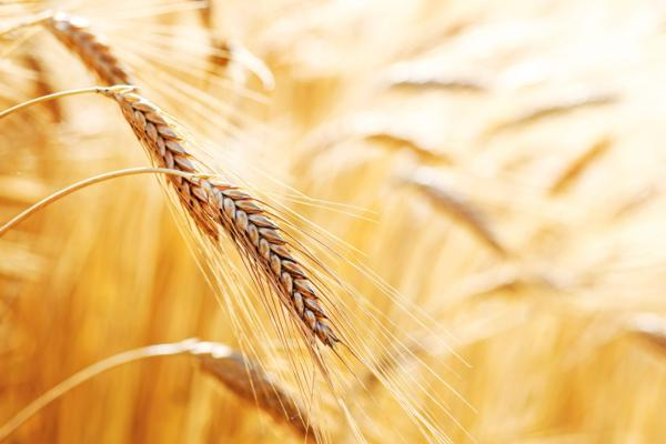 alergia pkarmowa, pszenica jako alergen