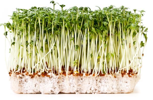 rzeżucha a uroda, rzeżucha a zdrowie właściwości rzeżuchy