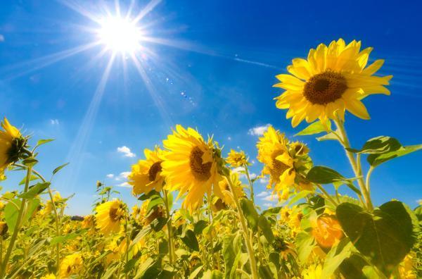 zalety słonecznika